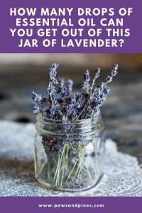 jar of lavender with text overlay: how many drops of essential oil can you get out of this jar of lavender?